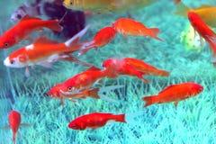 Rewolucjonistki ryba Zdjęcia Royalty Free