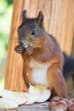 Rewolucjonistki wiewiórka je Obraz Stock