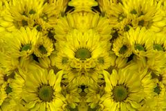 Reworked photo from Yellow Chrysanthemum flowers. Abstract photo Royalty Free Stock Image