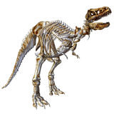 rex σκελετός τ Στοκ Εικόνες