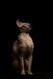 rex кота cornish на черноте Стоковое Изображение