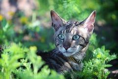 rex кота cornish серое Стоковые Изображения
