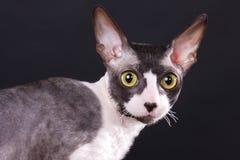 rex кота cornish Стоковые Изображения RF