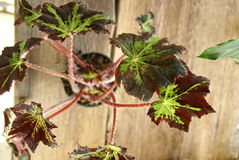 Rex Begonia Royalty Free Stock Images