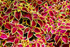 Rex begonia flowers. Colorful pink yellow Begonia rex-cultorum's leaves Stock Photo