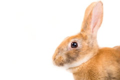 Rex Bunny. Picture of the side profile of a Rex Rabit stock photos