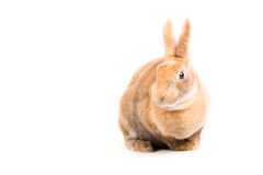 Rex Bunny. Picture of the side profile of a Rex Rabit royalty free stock photography