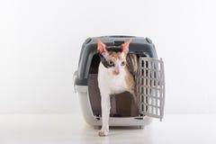 Rex Cat Going Out de Cornualles de la caja Fondo blanco de la pared Fotografía de archivo libre de regalías