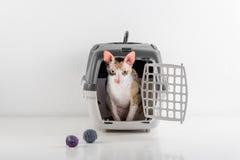 Rex Cat Looking cornouaillais curieux hors de la boîte sur la table blanche avec la réflexion Fond blanc de mur Petites boules co Images stock