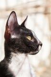 Rex Cat Looking cornouaillais par la fenêtre photo libre de droits