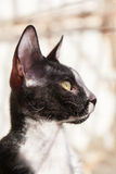 Rex Cat Looking della Cornovaglia attraverso la finestra Fotografia Stock Libera da Diritti