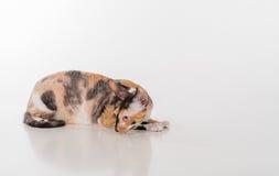 Rex Cat Lying de Cornualles curioso en el escritorio blanco Fondo blanco Mirada abajo y a la derecha Fotos de archivo