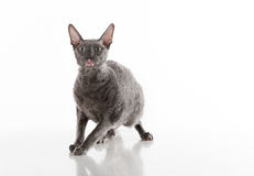 Rex Cat Sitting de Cornualles negro en la tabla blanca con la reflexión Fondo blanco Retrato Asustado y sorprendido fotos de archivo libres de regalías