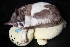 Rex cornouaillais de chat speeping sur l'oreiller Photo stock