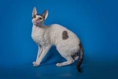 Rex de Cornualles del gato divertido en un fondo azul del estudio Imagenes de archivo