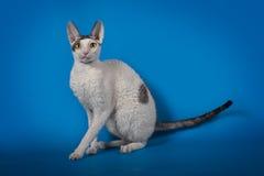Rex de Cornualles del gato divertido en un fondo azul del estudio Foto de archivo libre de regalías