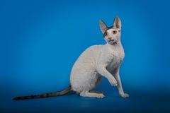 Rex de Cornualles del gato divertido en un fondo azul del estudio Imagen de archivo libre de regalías