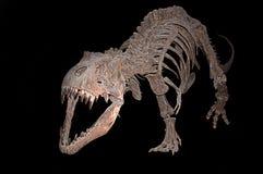 Rex de Tyranoosaurus Imagem de Stock