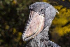 Rex del Balaeniceps della cicogna di Shoebill Immagine Stock