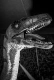Rex do tiranossauro, maxila forte completamente dos dentes afiados e perigosos fotos de stock royalty free