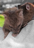 Rex Fox zestawy Odpoczywają na Sweatshirted ręce (Vulpes vulpes) Zdjęcia Royalty Free