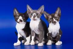 Rex kitten Stock Photography