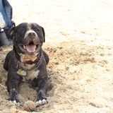 Rex loving the sand. Pitbull with his ball at the beach Royalty Free Stock Photos