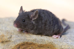 Rex mouse with curly coat. Close up of a sweet little baby Rex mouse with curly coat stock image