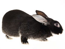 Rex Otter domestic rabbit, on white background Stock Photo