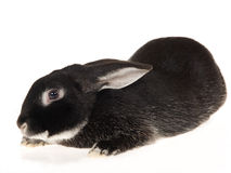 Rex Otter domestic rabbit, on white background Royalty Free Stock Photography