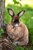 Rex Rabbit Enjoying das Freien Stockfotografie