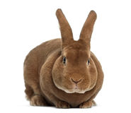 Rex rabbit facing Royalty Free Stock Photo