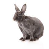 Rex rabbit on white Stock Photos