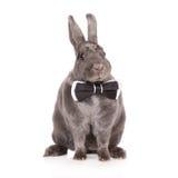 Rex rabbit on white. Rex breed rabbit posing on white Stock Images