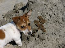Rexa на пляже стоковое фото