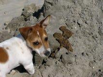 Rexa på stranden Arkivfoto