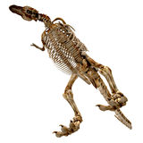 rexskeletttyrannosaurus royaltyfri illustrationer