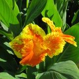 Rey amarillo Humbert de Canna de la flor con los pétalos amarillos y los puntos rojos en ellos contra la perspectiva de las hojas fotos de archivo