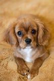 Rey arrogante Charles Spaniel Puppy imágenes de archivo libres de regalías