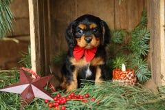 Rey arrogante Charles Spaniel Puppy en el ajuste de la Navidad imagenes de archivo
