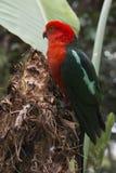 Rey australiano Parrot imagen de archivo libre de regalías