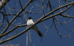 Rey Bird fotos de archivo libres de regalías