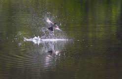 Rey Bird Diving Fotos de archivo