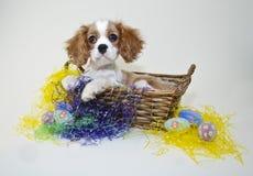 Rey Cavalier Puppy en una cesta de Pascua imagen de archivo