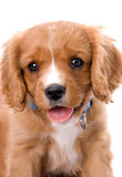 Rey Charles Cavalier perrito viejo de 6 semanas fotografía de archivo libre de regalías