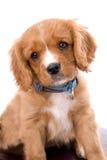 Rey Charles Cavalier Puppy en blanco fotos de archivo libres de regalías