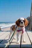 Rey Charles Cavalier Spaniel en la playa fotografía de archivo libre de regalías