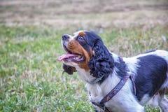 Rey Charles Spaniel de los caballeros de la raza del perro imagen de archivo libre de regalías