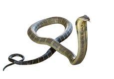 Rey Cobra Imágenes de archivo libres de regalías