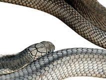 Rey Cobra Isolated en el fondo blanco, trayectoria de recortes Imágenes de archivo libres de regalías